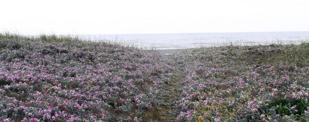 coastflowers