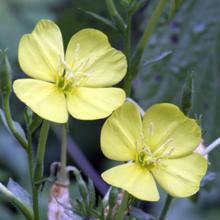 evening primrose2