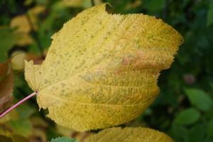 Striped Maple Fall Leaf