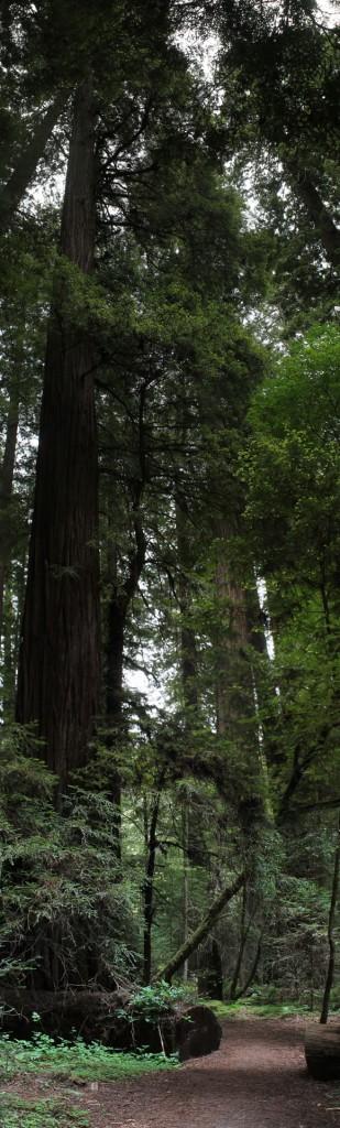 redwoodUntitled_Panorama441